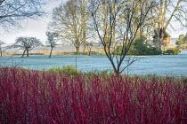 Cornus alba 'Sibirica', frost on lawn