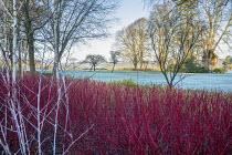 Cornus alba 'Sibirica', Rubus thibetanus 'Silver Fern', frost on lawn