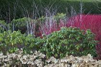 Rhododendron, hydrangea seedheads, Cornus alba 'Sibirica', Rubus cockburnianus