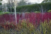Betula utilis var. jacquemontii, Cornus alba 'Sibirica', Rubus thibetanus 'Silver Fern', Cornus sericea 'Flaviramea'