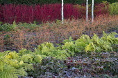 Frost on epimedium leaves, polystichum, Cornus sanguinea 'Midwinter Fire', Cornus alba 'Sibirica'