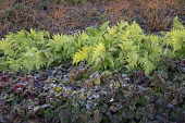 Frost on epimedium leaves, polystichum, Cornus sanguinea 'Midwinter Fire'