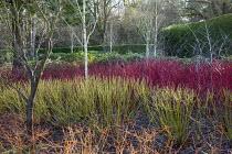 Betula utilis var. jacquemontii, Cornus alba 'Sibirica', Cornus sanguinea ,Midwinter Fire', Rubus thibetanus 'Silver Fern', Cornus sericea 'Flaviramea'