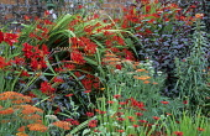 Red border, Crocosmia 'Lucifer', Achillea 'Feuerland', Prunus x cistena, Zinnia peruviana