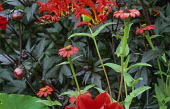 Zinnia peruviana, Dahlia 'Bishop of Llandaff' foliage, Crocosmia 'Lucifer'