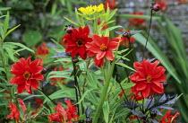 Red border, Dahlia 'Bishop of Llandaff', Euphorbia schillingii, design: Nori & Sandra Pope, Hadspen Garden