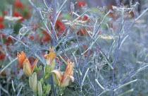 Peach border, Hemerocallis 'Children's Festival' Foeniculum vulgare 'Purpureum, design: Nori & Sandra Pope, Hadspen Garden