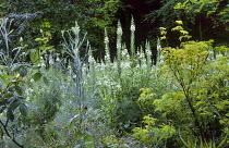 Chamerion angustifolium 'Album', Sambucus 'Sutherland Gold', fennel