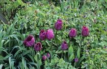Tulipa 'Negrita', Geranium phaeum