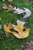 Liriodendron tulipifera leaves on lawn