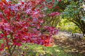 Acer palmatum by pathway