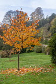 Prunus tree in autumn
