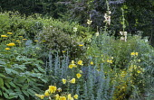 Yellow border, Achillea 'Moonshine', Oenothera biennis, anthemis, artemisia, hollyhock, fennel