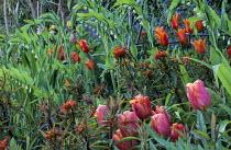 Polygonatum x hybridum, Euphorbia griffithii 'Fireglow', Tulipa 'Jimmy', Tulipa 'Ballerina'