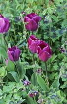Tulipa 'Negrita', Geranium phaeum 'Samobor'