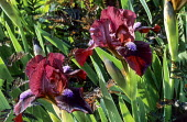 Iris 'Ruby Contrast', Anthriscus sylvestris 'Ravenswing'