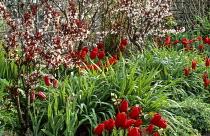 Tulipa 'Couleur Cardinal', Prunus x cistena