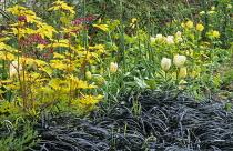 Ophiopogon planiscapus 'Nigrescens', Dicentra spectabilis 'Gold Heart', tulips