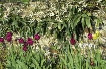 Clematis armandii climbing over flint wall, Tulipa 'Negrita'