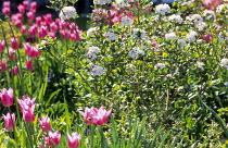 Tulipa 'China Pink', Viburnum carlesii