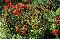 Tulipa 'Ballerina', Euphoria griffithii, Fritillaria imperialis