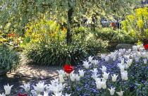 Pyrus salicifolia 'Pendula', Tulipa 'White Triumphator', myosotis