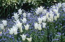 Tulipa 'White Triumphator', myosotis