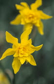 Narcissus x odorus 'Double Campernelle'