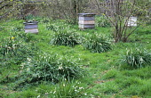 The Nuttery, leucojum, beehives
