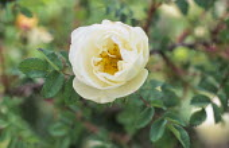 Rosa pimpinellifolia double white