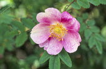 Rosa pimpinellifolia seedling