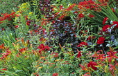 Red border, Hemerocallis 'Mrs Hugh Johnson', Crocosmia 'Lucifer', Achillea 'Feuerland', Prunus x cistena, euphorbia