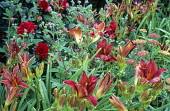Red border, Dahlia 'Arabian Night', Hemerocallis 'Mrs Hugh Johnson', Potentilla nepalensis