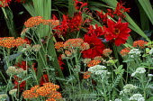 Red border, Dahlia 'Bishop of Llandaff', Achillea 'Feuerland', Crocosmia 'Lucifer'
