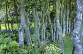 Beech stems underplanted with hostas