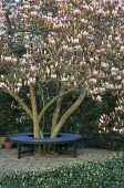 Circular tree seat around base of Magnolia x soulangeana