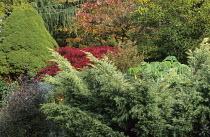 Autumn border, juniper, acer, euphorbia, Melianthus major, Corokia cotoneaster, rhus