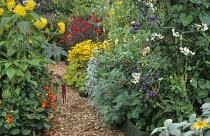 Bark path, raised beds with damsons, squash, Dahlia 'Pooh', Dahlia 'Kenn Emerland', Rudbeckia hirta 'Prairie Sun', amaranthus