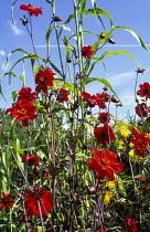 Dahlia 'Bishop of Llandaff', sorghum leaves