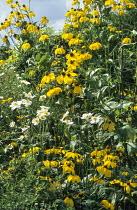 Rudbeckia 'Herbstsonne', Anemone x hybrida 'Honorine Jobert', syn. Anemone japonica