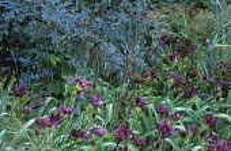 Rosa glauca, Hemerocallis 'Little Grapette', Foeniculum vulgare 'Purpureum'