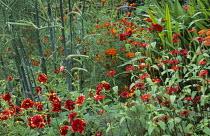 Red border, Potentilla 'Flambeau', Foeniculum vulgare 'Purpureum', Zinnia peruviana, Achillea 'Feuerland'