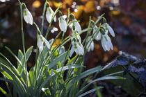 Galanthus elwesii 'Daphne's Scissors'