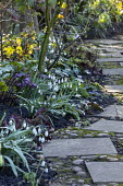 Paving slab and pebble path, hellebores, Galanthus 'Icicle' and Galanthus 'Primrose Warburg'