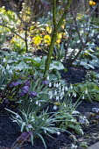 Helleborus x hybridus (Ashwood Garden Hybrids) Single dusky grape, Galanthus elwesii 'Daphne's Scissors' and Galanthus 'Primrose Warburg'