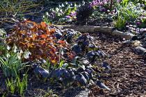 Lunaria annua 'Chedglow', log-edged bark chippings path, Cyclamen coum, epimedium leaves, galanthus