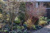 Cornus sanguinea 'Anny's Winter Orange', hellebore, cyclamen, Magnolia stellata, log-edged bark path, Galanthus plicatus 'E.A. Bowles', Galanthus 'Dragonfly', Galanthus 'Copton Trym' and Galanthus pli...