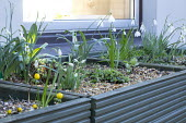 Snowdrops in green painted wooden raised bed, Eranthis hyemalis Cilicica Group, Galanthus 'Cornwood Gem',Galanthus 'Don Armstrong', Galanthus 'Trymposter', Galanthus 'Icicle', Galanthus elwesii 'Daph...