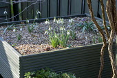 Galanthus 'Greenfinch', 'Wol Staines', 'Joe Spotted' and 'Sprite' in green painted wooden raised bed