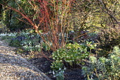 Cornus sanguinea 'Anny's Winter Orange', hellebore